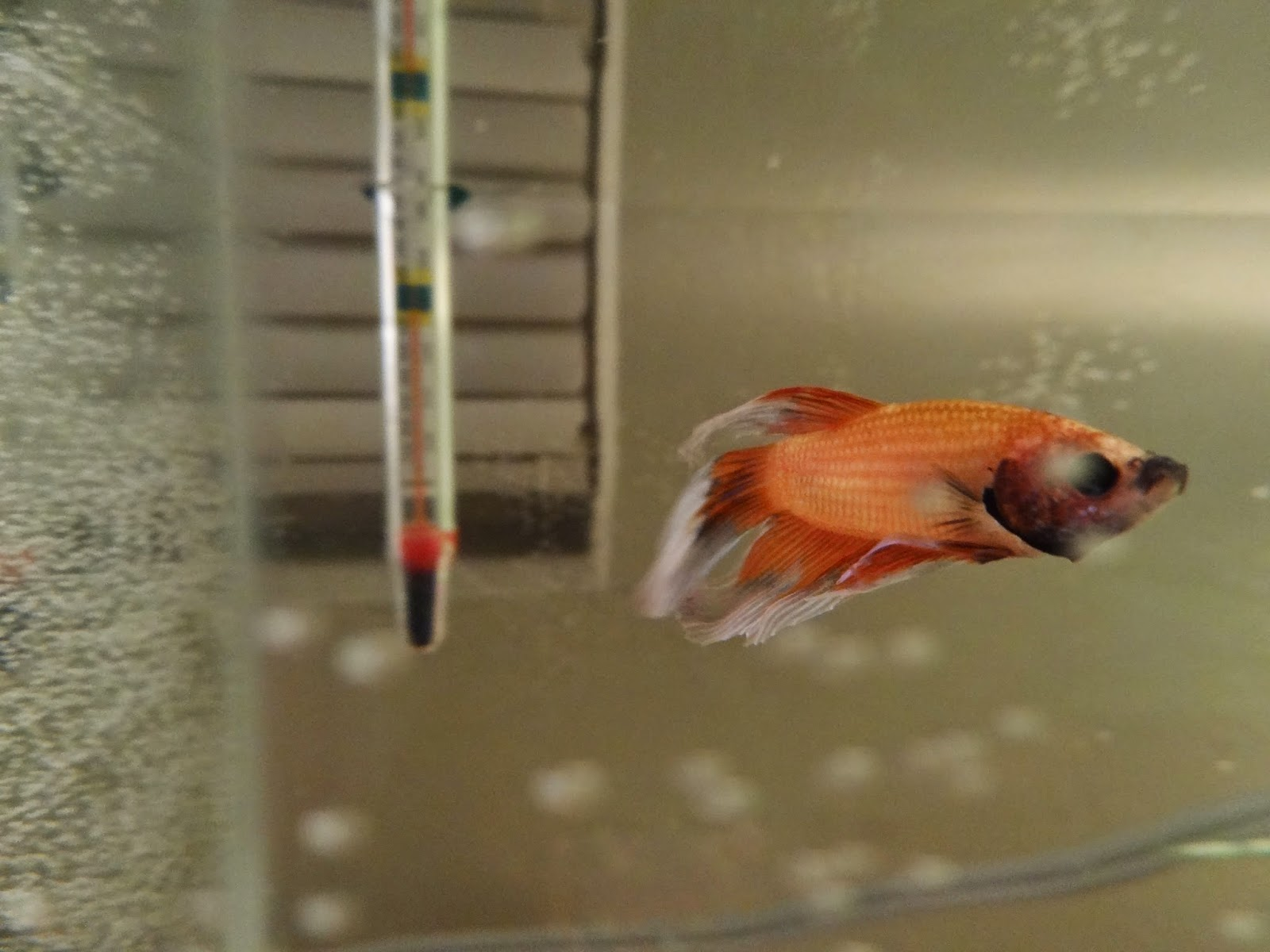 The top five most common and deadly betta fish care for Beta fish water temp