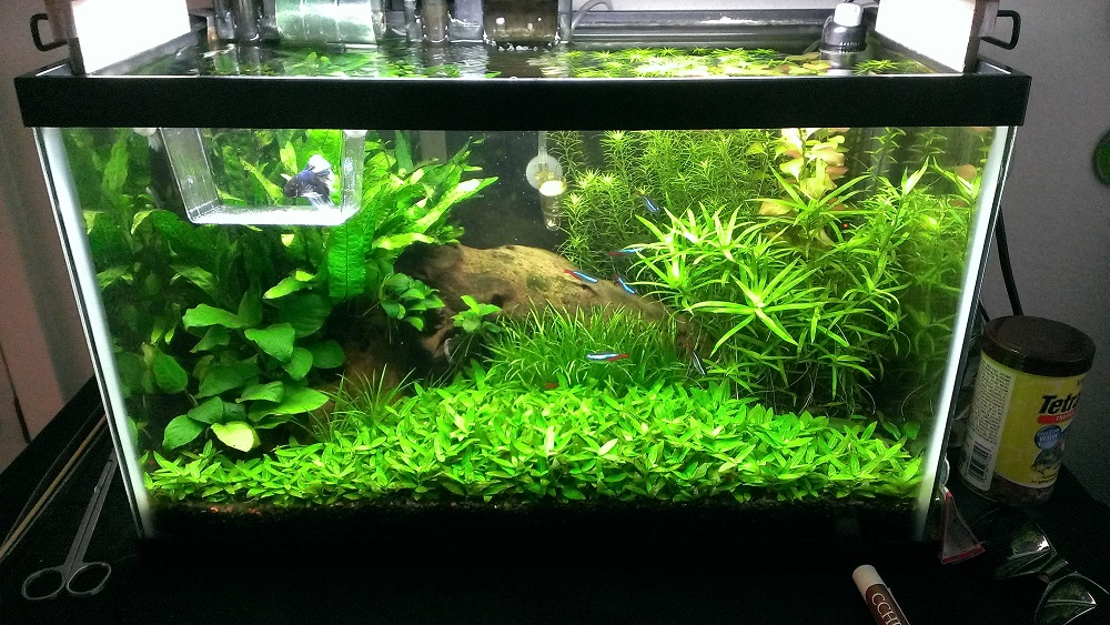 Batta Splendens Is Acclimating Into Its New Naturally Planted Tank