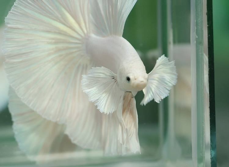 White elephant ear betta pure white elephant ear over