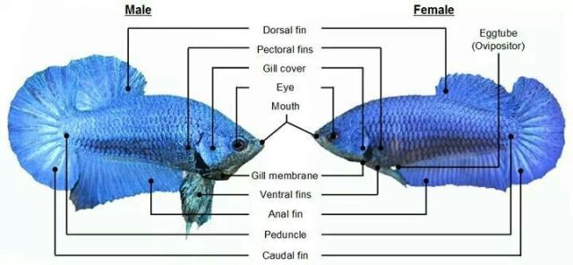 how to know what gender a fish is