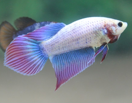 Betta beauties week of april 15 2015 bettasmart for Female betta fish names